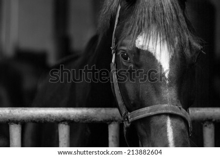 Black and white  horse portrait - stock photo