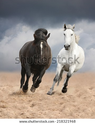 Black and white horses running wild and free - stock photo