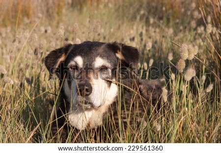 Bunny Tail Hair Among Bunny Tails Grass on