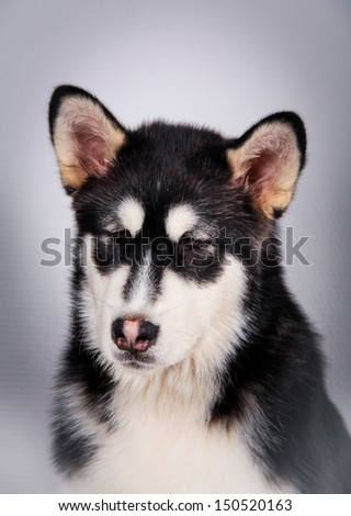 black and white Husky dog