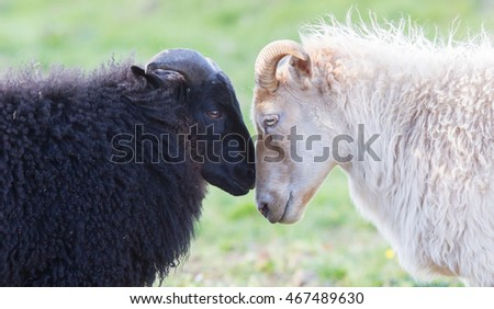 Black and white Icelandic sheep on pasture -  Concent of love