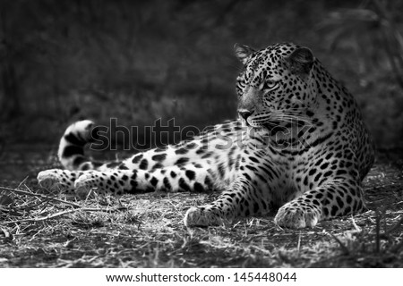 Black and white image of a leopard lying on the ground - stock photo