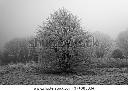 Black and White image of a Tree covered in frost on a cold and foggy Winters day - stock photo
