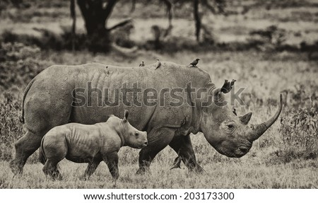 Black and white image of a White rhinoceros (Ceratotherium simum) with her baby in Lake Nakuru National Park, Kenya. The white rhinoceros is one of the five species of rhinoceros that still exist. - stock photo