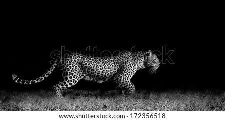 Black and white image of a wild African leopard stalking - stock photo