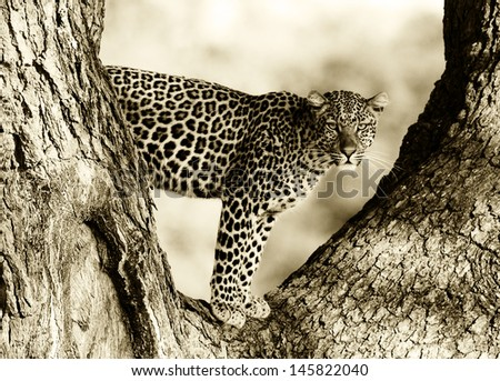 Black and White image of a Wild Leopard in a tree