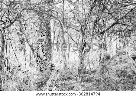 black and white image of a young cheetah sat in the bush at kruger national park - stock photo