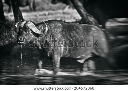 Black and white image of an African buffalo crossing a river in the Lake Nakuru National Park - Kenya - stock photo