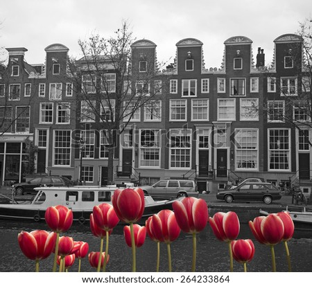 black and white image of an amsterdam canal with red tulips - stock photo