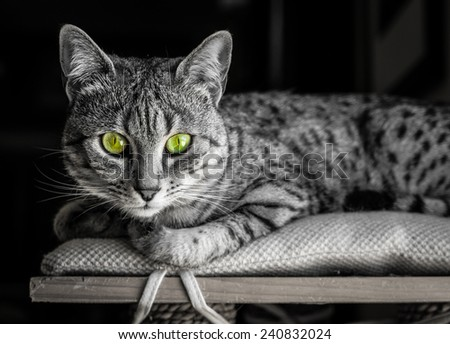 Black and White image of an Egyptian Mau cat with startling green eyes looking straight at camera - stock photo