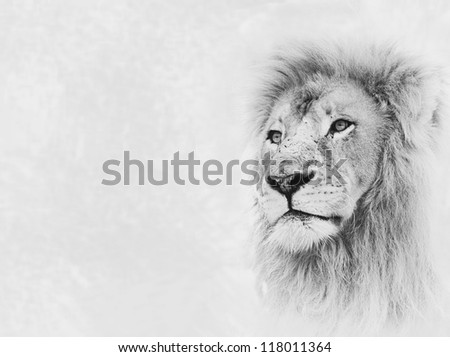 Black and White Image of Lion Face on Card Banner - stock photo