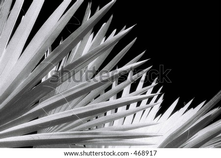 Black and White Infra Red image of Palm Fronds. Infra Red film has significant grain.
