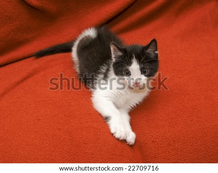 black and white kitten over a red blanket