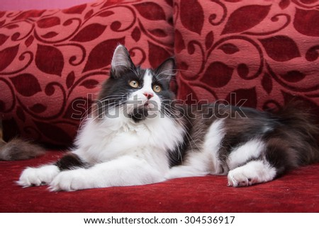 Black and white Kurilian Bobtail