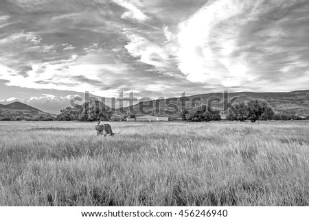 Black and white landscape with a longhorn steer in a rural field, Utah, USA. - stock photo