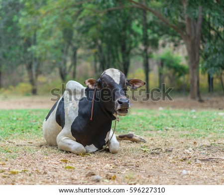 Black and white laughing cow on a farm.