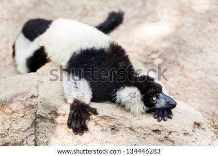 Black and white lemur lay on the rock and looking