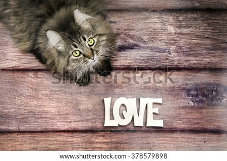 black and white main coon cat sitting and looking at the camera on wood floor with love  - stock photo