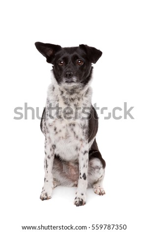 black and white mixed breed dog in front of a white background