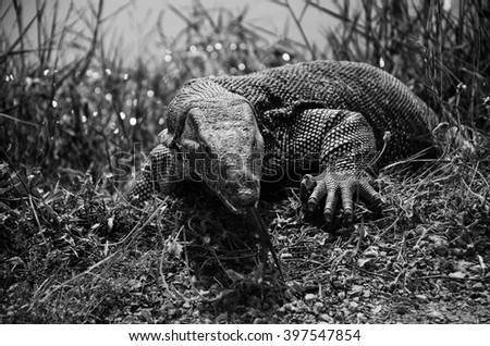 Black and white monitor lizard - stock photo