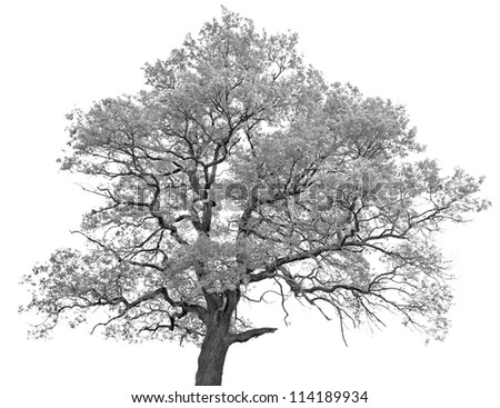 Black and white (monochrome) picture of a single oak tree - stock photo