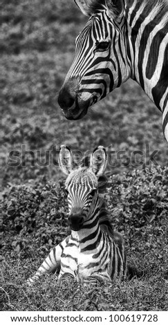 Black and White Mother and Baby Zebra Serengeti Tanzania Africa - stock photo