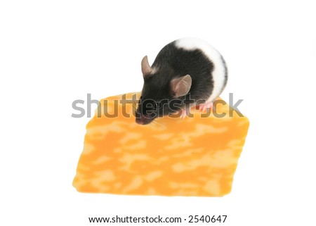 Black and white mouse on wedge of colby jack cheese isolated - stock photo