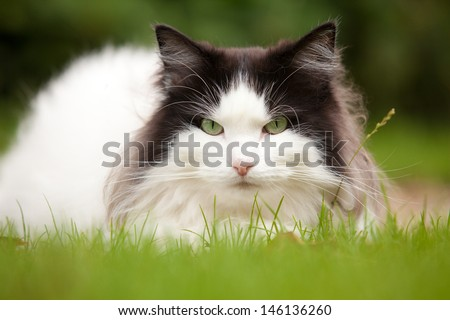 Black and white Norwegian Forest Cat lying in field of grass - stock photo