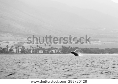 Black and white of a whale breaching in the distance off the coast of a small town in Maui, Hawaii.  - stock photo