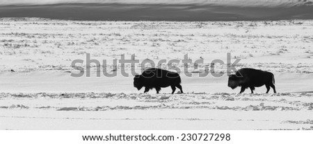 Black and white of two bison crossing the plains in search of a better spot to feed - stock photo
