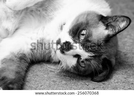 Black and white or monochrome cat portrait - stock photo