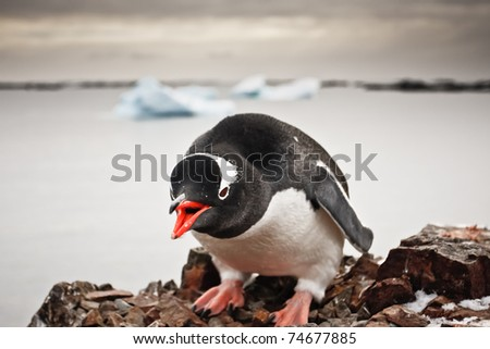 black and white penguin in Antarctica - stock photo