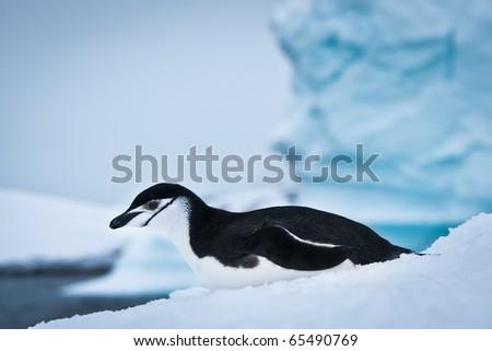 black and white penguin on the white snow - stock photo