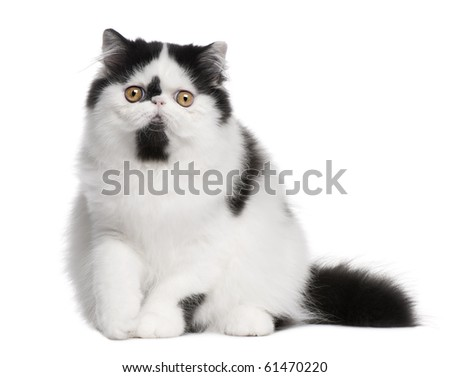 Black and white Persian cat sitting in front of white background - stock photo