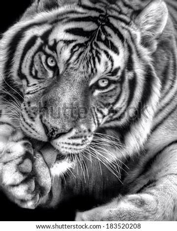 Black-and-white photo of a bengal tiger licking his paw - stock photo