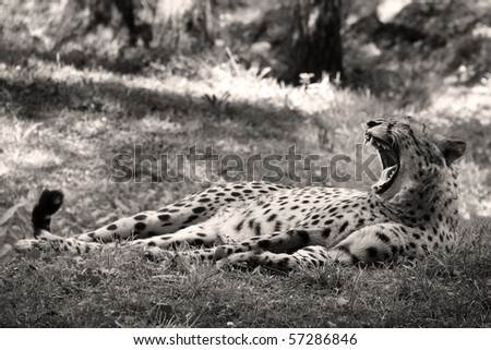 black and white photo of a cheetah with his mouth widely opened - stock photo