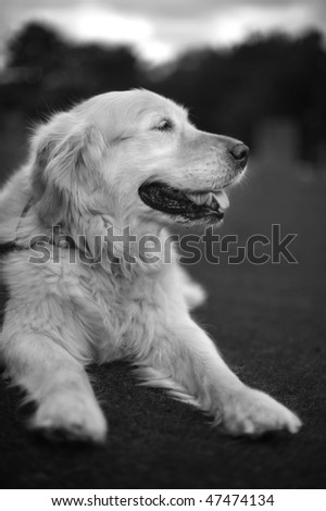 Black and White Photo Of A Golden Retriever Lying On Grass