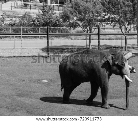 Black and white photo of an elephant at the zoo