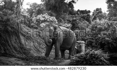 Black and white photo of an elephants eating palm leaves on a hill