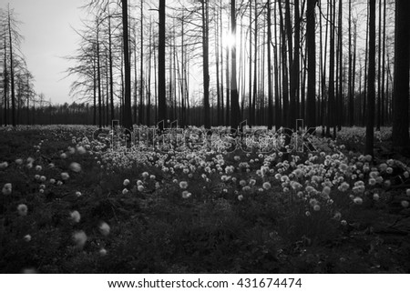 Black and white photo of common cottongrass, Eriophorum angustifolium blooming in burnt environment after a large forest fire, focus on the trees