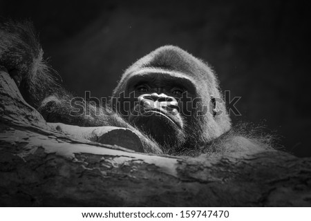 black and white photo of gorilla leaning on tree with black background - stock photo