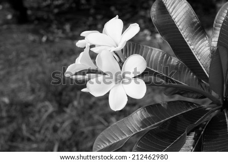 Black and white photo of Plumeria spp. (frangipani flowers, Frangipani, Pagoda tree or Temple tree) - stock photo