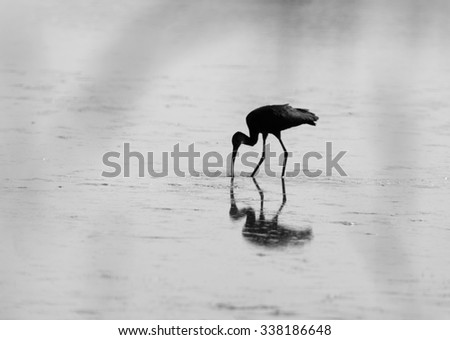 Black and white photo of silhouette of white-faced ibis (plegadis chihi), wading and feeding in a shallow pond - stock photo