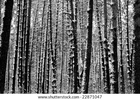 Black and White Photo of trees in winter forest as background
