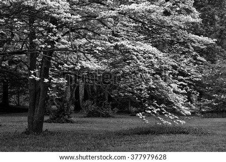 Black and white photo of white dogwood tree in full bloom. Beautiful, mature tree with sweeping branches laden with blossoms. - stock photo