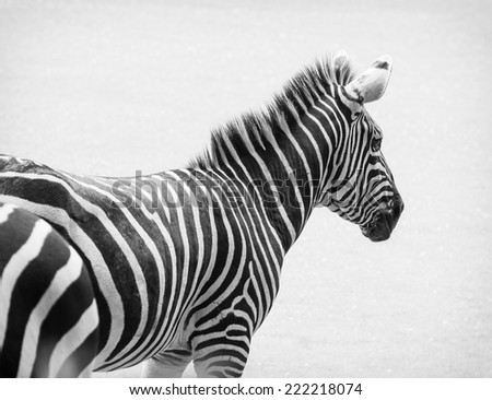 Black and white photo of zebra. Side view. - stock photo