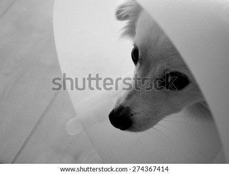 Black and white photoof a dog with vet collar