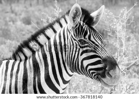 Black and white picture of a Burchell's zebra (Equus quagga burchellii) in its natural environment in Etosha National Park, Namibia. Shallow depth of field.