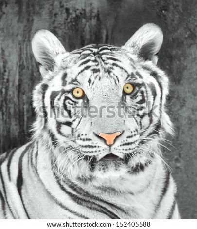 Black and white picture of a white tiger   - stock photo
