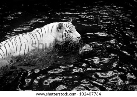 Black and white picture of a white tiger standing in water - stock photo